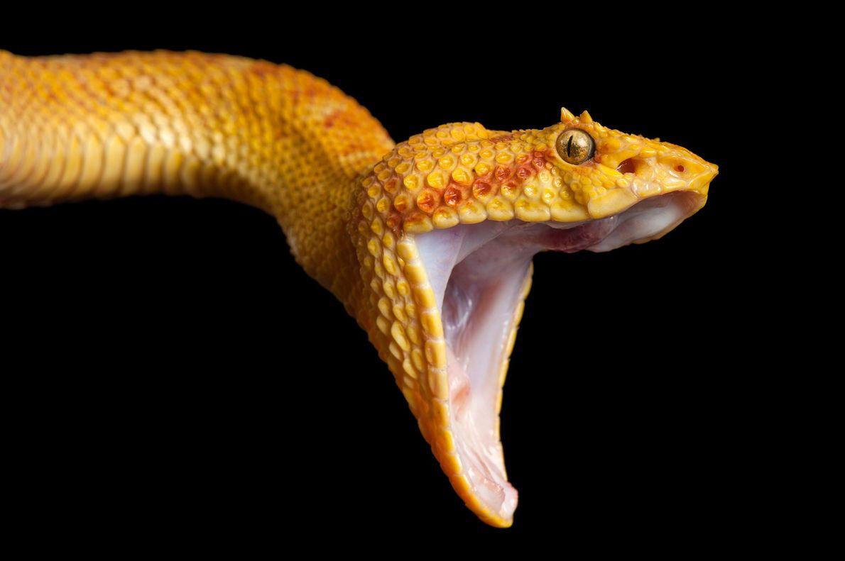 La víbora de pestañas tiene una escala ampliada por encima de cada ojo, lo que hace ...