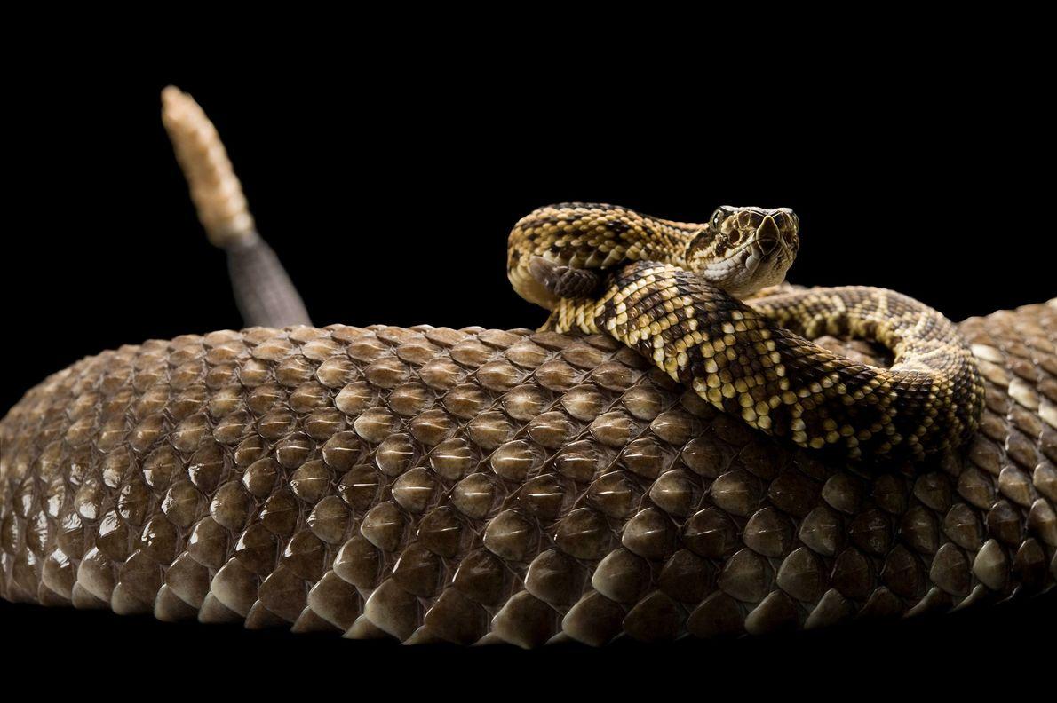 Esta serpiente cascabel venezolana / colombiana es una especie venenosa cuya picadura causa una parálisis gradual.