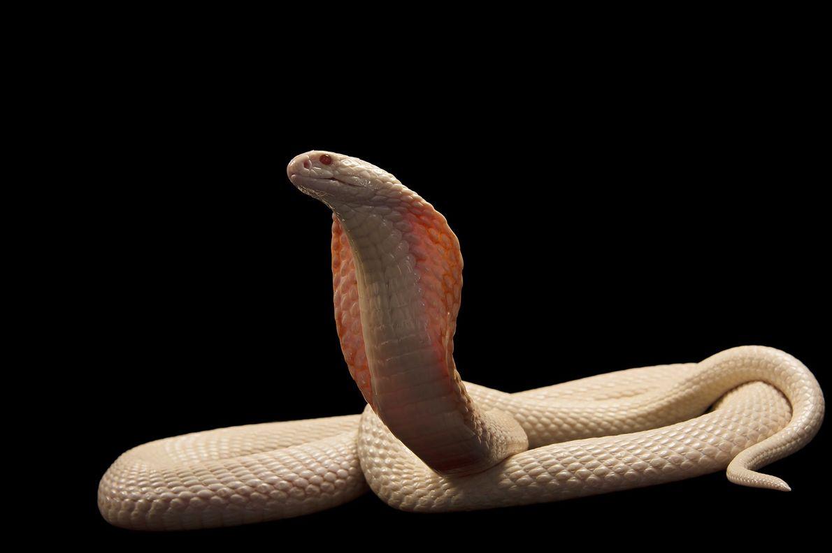 El veneno de la cobra del monóculo albino es uno de los que actúa más rápido ...