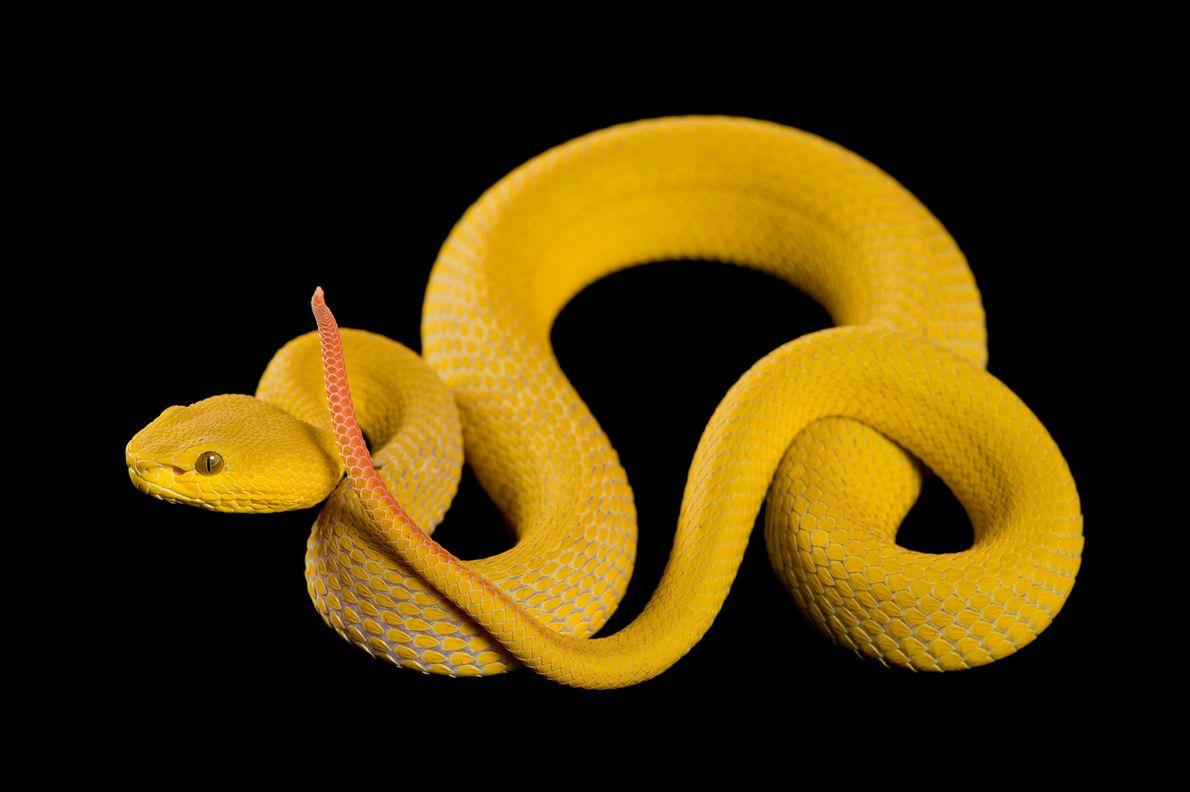 La víbora de la isla de labios blancos es una especie venenosa agresiva que morderá en ...