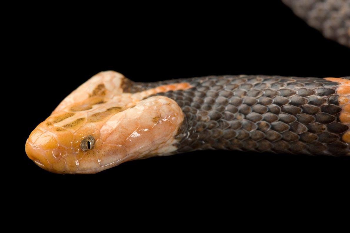 La víbora de esta venenosa característica vive en el zoológico de San Luis.