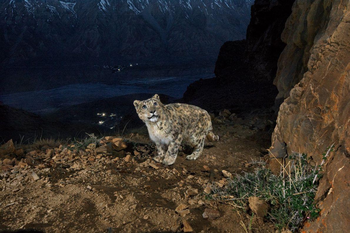 Una cámara trampa captura a un viejo leopardo de las nieves en una montaña que domina ...