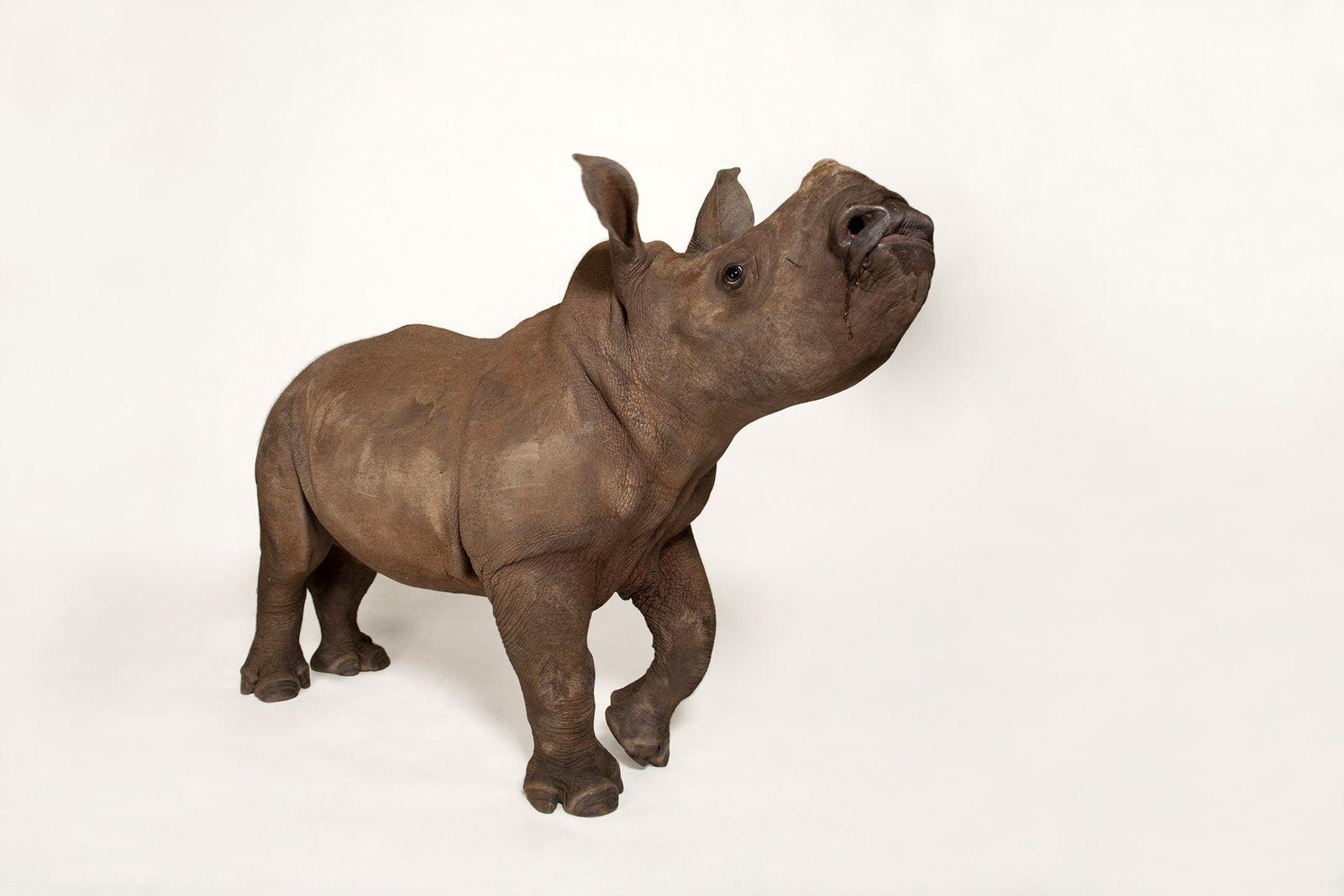 Se creía que los rinocerontes blanco se habían extinguido a finales del siglo XIX hasta que ...