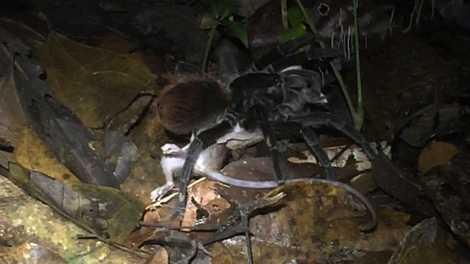 Una araña amazónica gigante depreda una zarigüeya