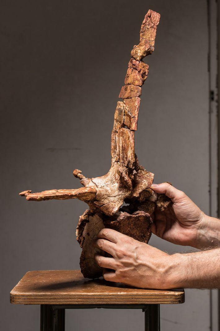 El paleontólogo Cristiano Dal Sasso sostiene con cautela la cuarta vértebra desde la base de la ...