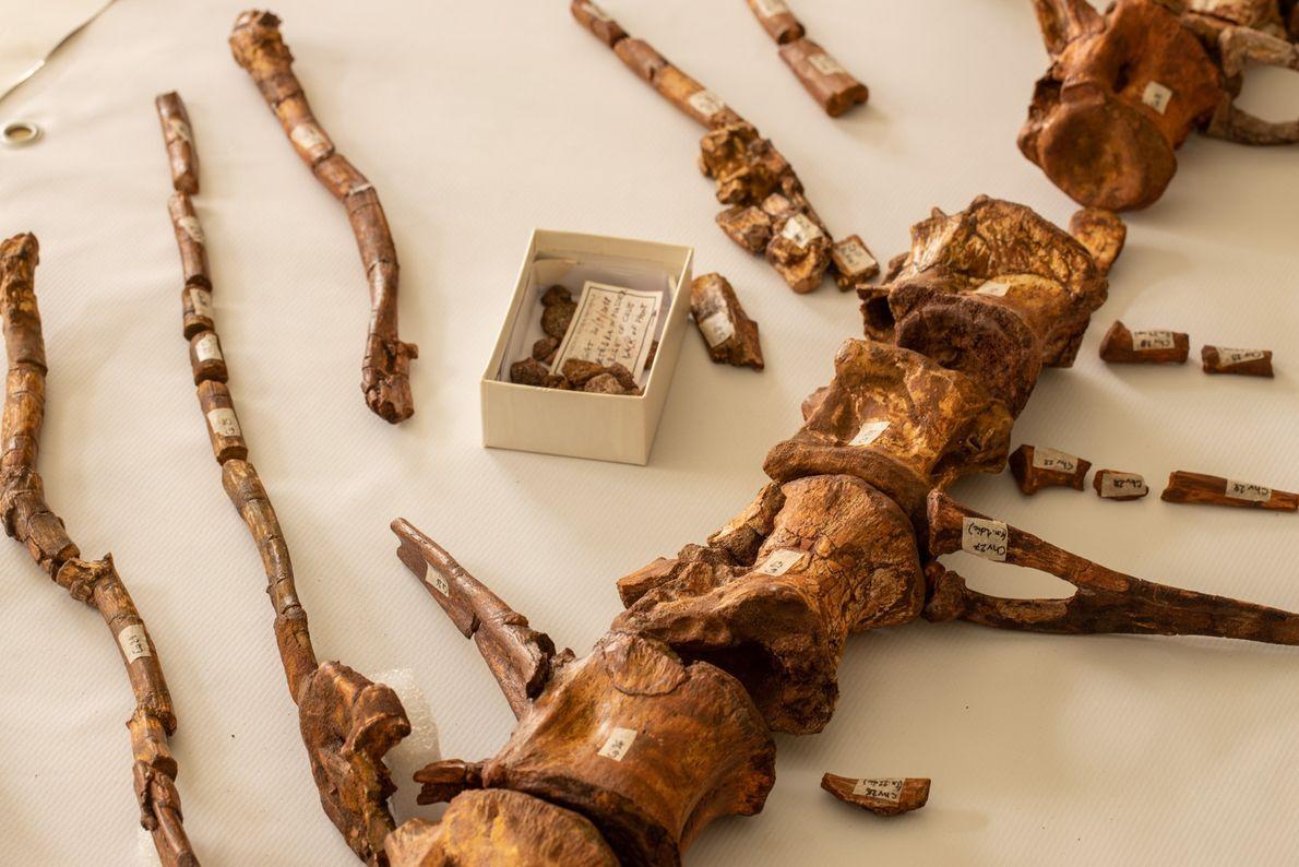 Largas espinas de hueso sobresalen de las vértebras de la cola del Spinosaurus. En vida, las ...