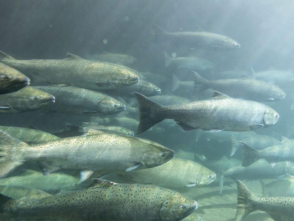 Estados Unidos: Aprueban la demolición de represas para intentar salvar a una especie de salmón a ...