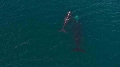 Patagonia argentina: La ballena franca austral y la tonina overa | Sobrevolando