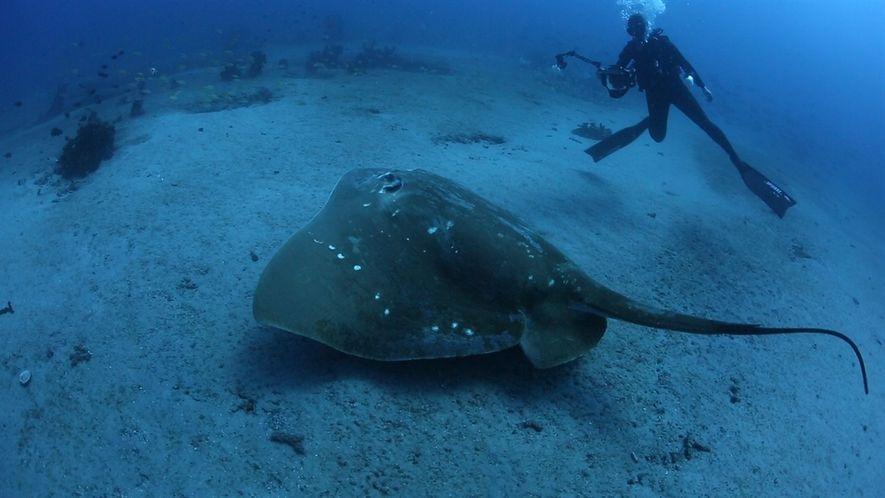 Científicos estudian a la mantarraya marina más grande conocida