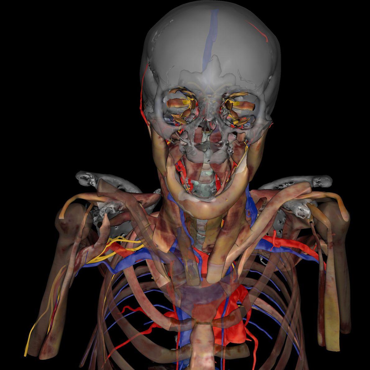 La eliminación de la anatomía en 3D de Potter revela su esqueleto, tendones, corazón, arterias, venas ...