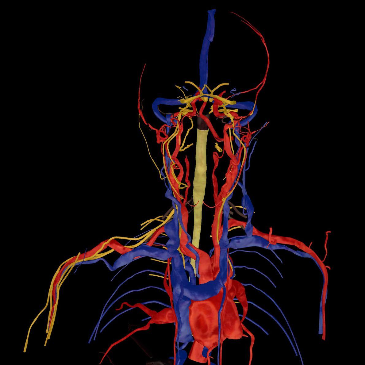 Esta imagen muestra su corazón, arterias, venas y nervios.