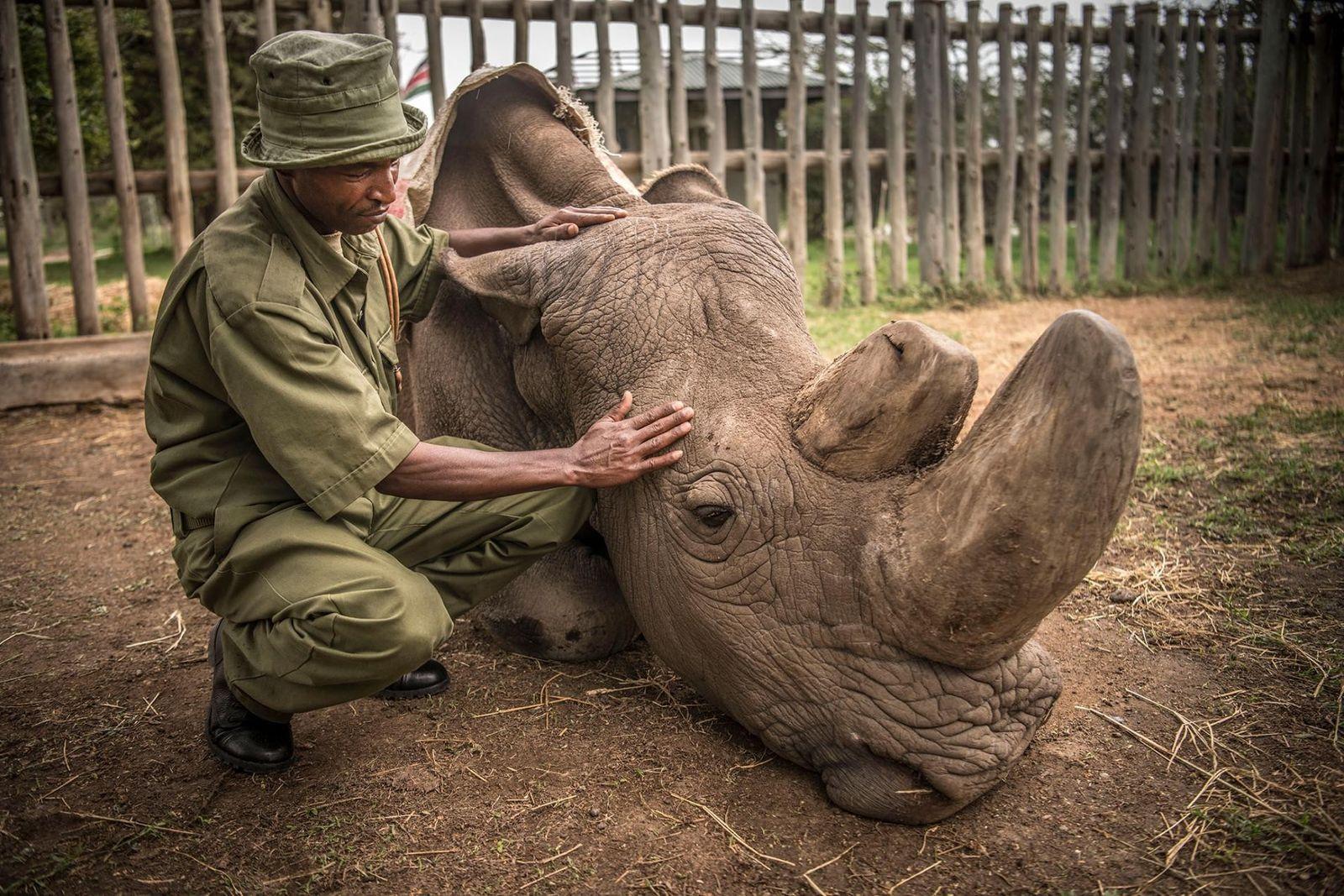 El guardaparques Zacharia Mutai consuela a Sudán, el último rinoceronte blanco del norte macho que quedaba ...
