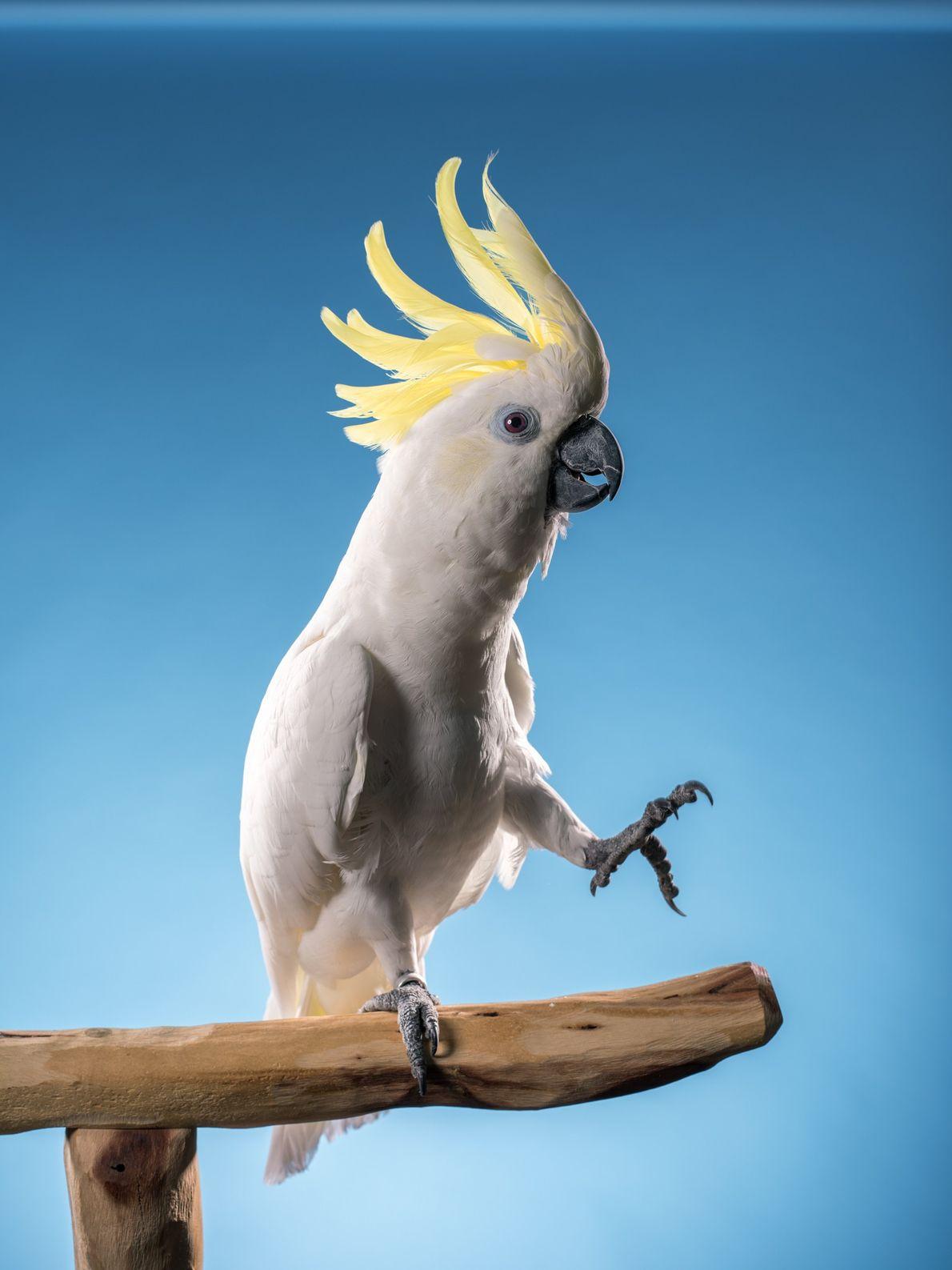 Un estudio del 2009 muestra que las cacatúas de moño amarillo, como la que se ve ...