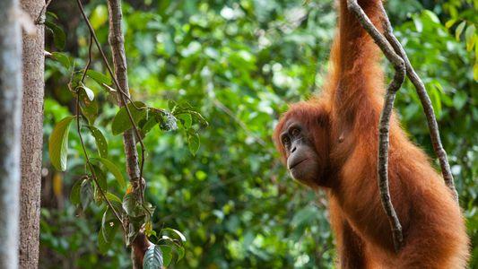 Primates en peligro de extinción corren un alto riesgo de contraer COVID-19