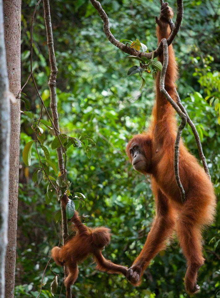 Una madre orangután de Sumatra sostiene la mano de su bebé en el parque nacional Gunung ...