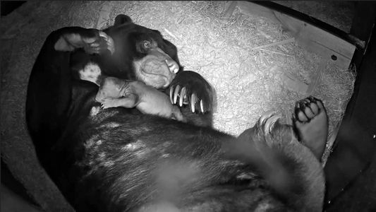 Raro oso malayo nacido de padres rescatados