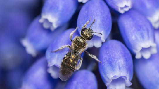 La abeja madriguera de Smeathman, de 4,5 milímetros de largo, pertenece a la familia Halictidae, también ...