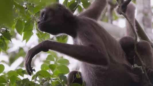 Colúmpiate entre árboles colombianos junto con los asombrosos monos araña