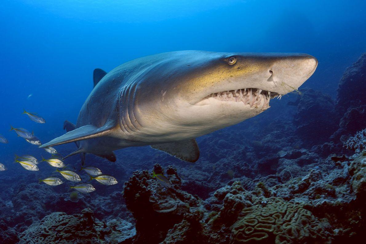 Tiburón toro. Bonin Islands, Japón.