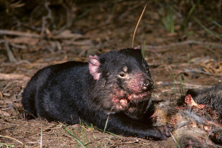 Un demonio de Tasmania con cáncer facial junto a un cadáver en Tasmania en la década ...