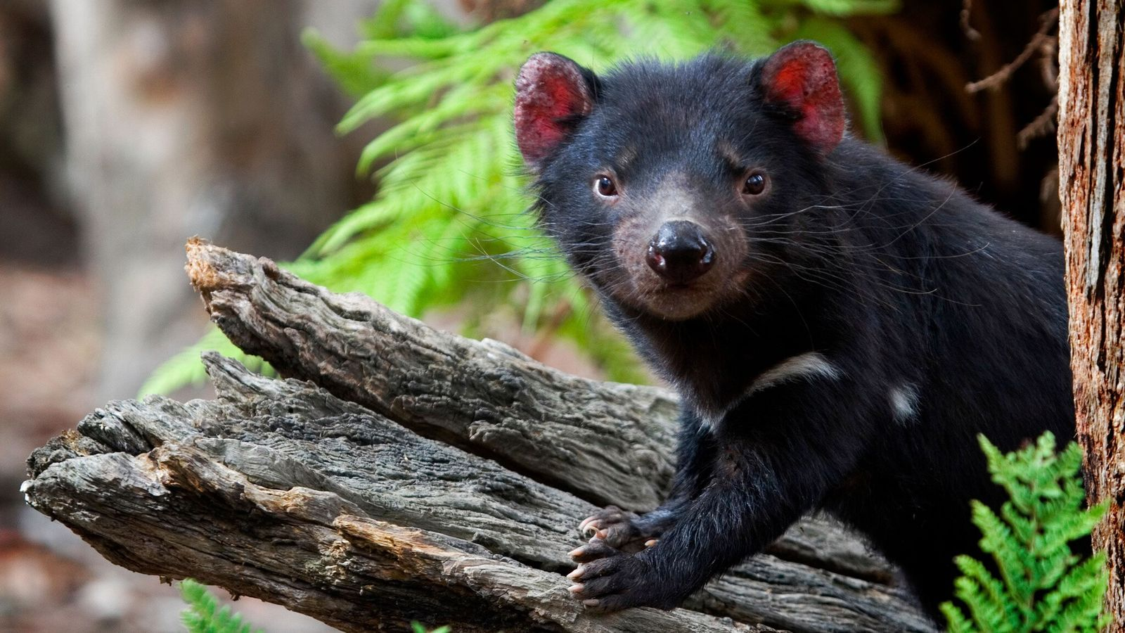 Un demonio de Tasmania cautivo posa sobre un tronco en el Something Wild Animal Sanctuary en ...