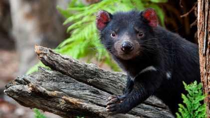 Disminuye el contagio del cáncer que afecta a los demonios de Tasmania