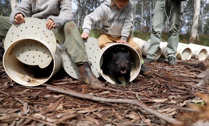 Los demonios de Tasmania ingresan a su nuevo hogar en los bosques de eucaliptos del este ...