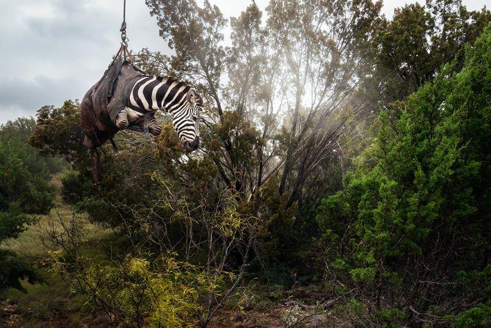 Una cebra sedada es levantada por un helicóptero en un rancho de Texas llamado Sexy Whitetails, ...