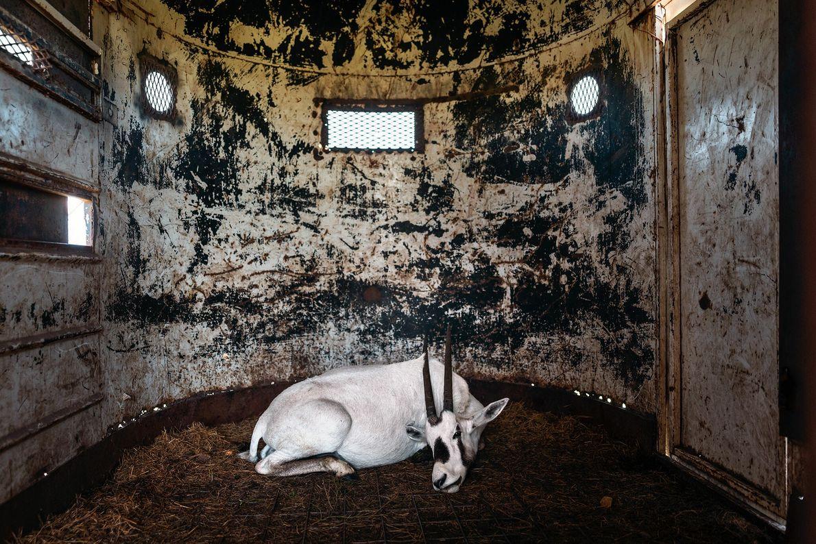 Un oryx árabe sedado en un remolque en 777 Ranch en Texas espera ser transportado a ...
