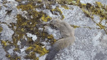 Descubren dos nuevas especies de ardillas voladoras en el Himalaya