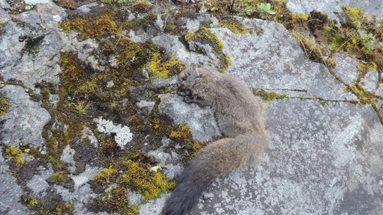 himalayan squirrel