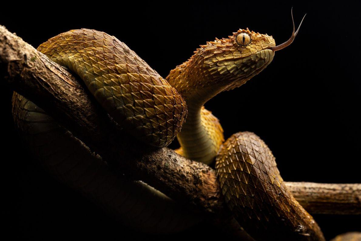 Moviendo su lengua, una víbora de arbustos olfatea sus alrededores. Las serpientes venenosas matan a unas ...