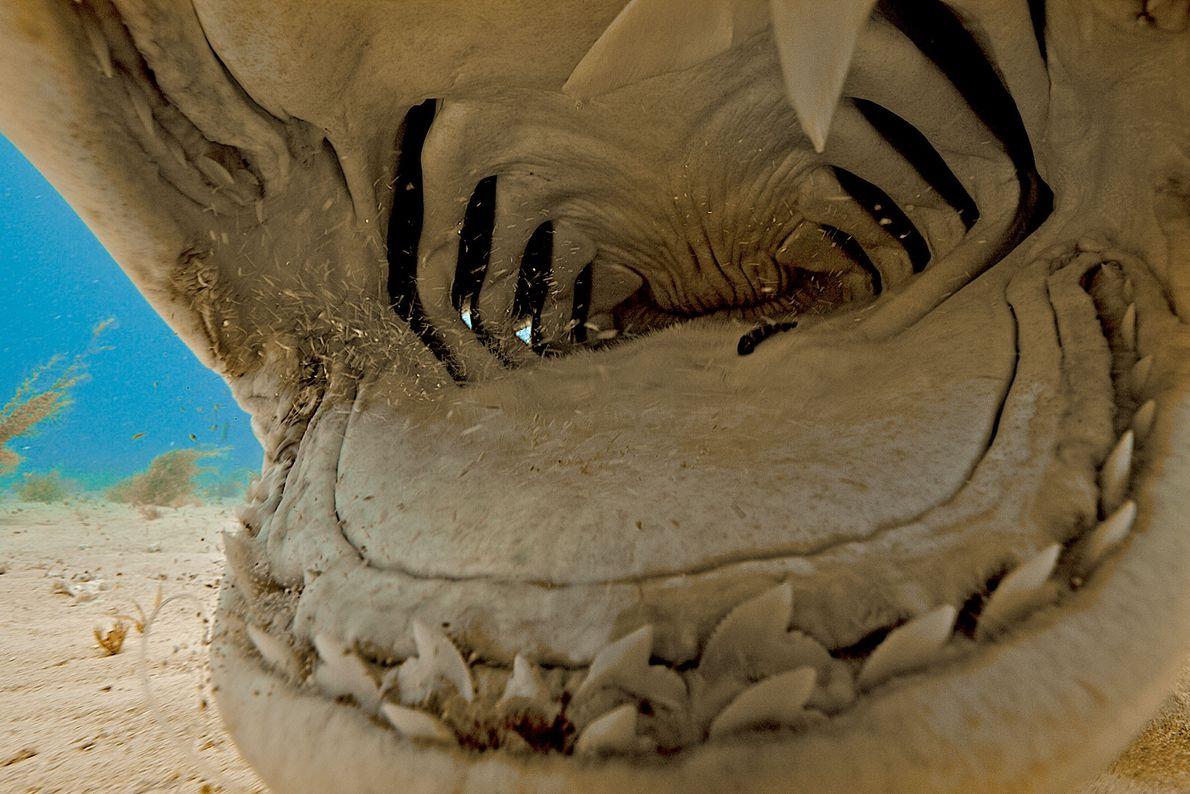 Tiburón tigre. Las Bahamas.