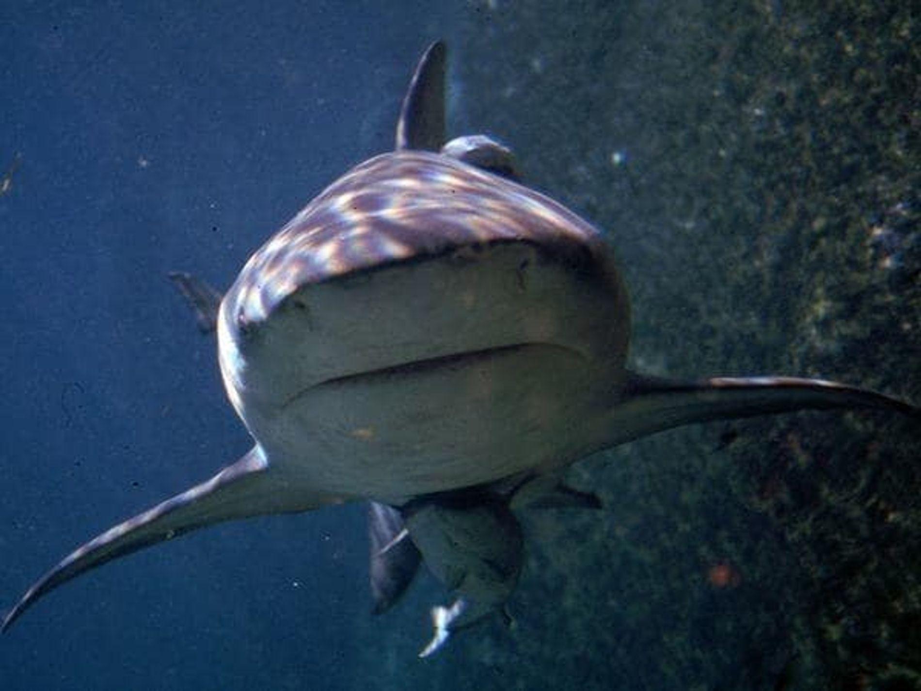 Cuando están patrullando el fondo oceánico en busca de cangrejos, calamares, pequeños tiburones y cardúmenes de ...