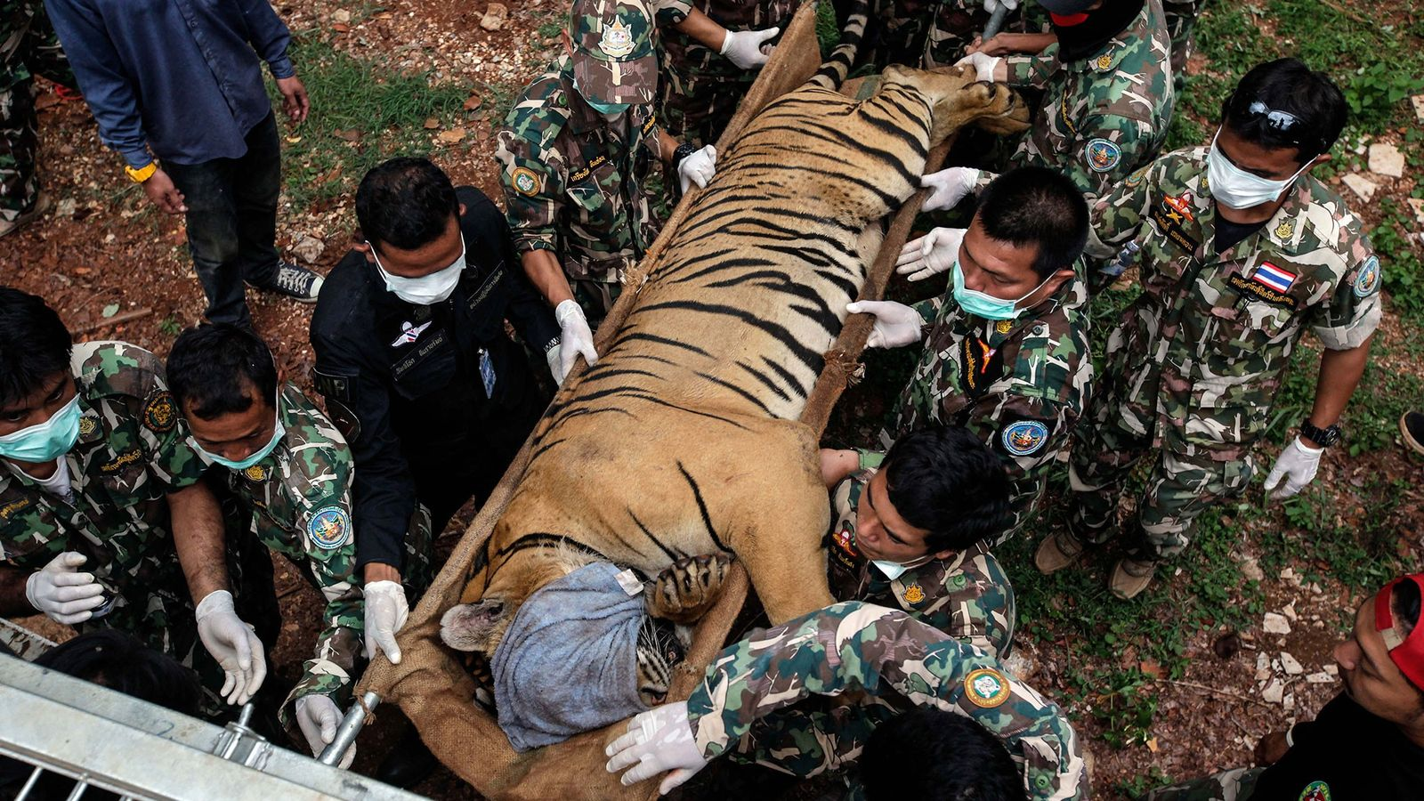 En el 2016, 147 tigres fueron incautados en una redada gubernamental del Templo del Tigre en ...