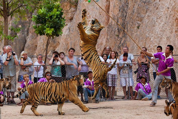 Los tigres fueron un gran atractivo turístico para los visitantes que querían tomarse selfies con los ...