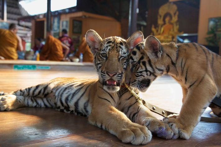 Los visitantes del Templo del Tigre pagaron por alimentar a los cachorros con mamaderas, como los ...