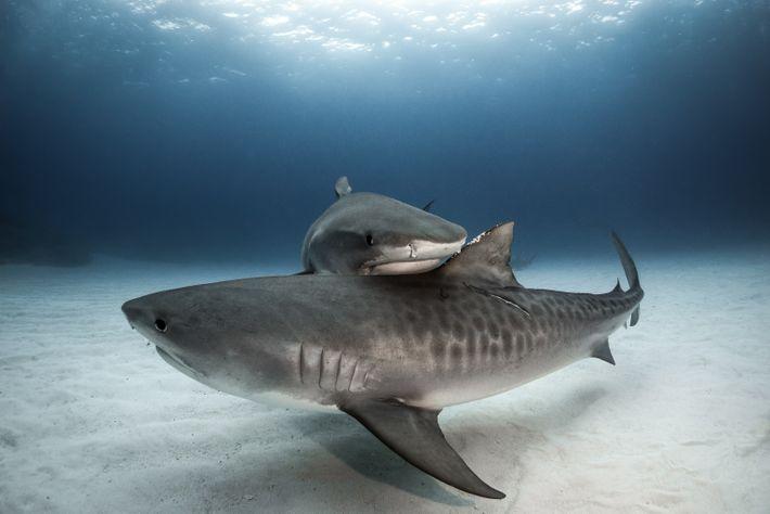 Dos tiburones tigre de arena se juntan frente a Gran Bahama. La especie tiene un sistema ...