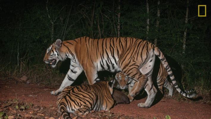 Mira ahora: Tigres extremadamente raros captados en cámara en Tailandia