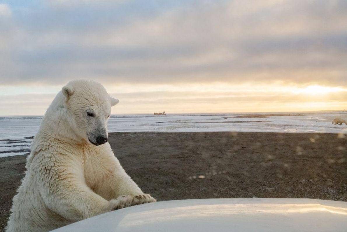 Un oso polar examina un coche cerca de Kaktovik, Alaska. El derretimiento de la banquisa está ...