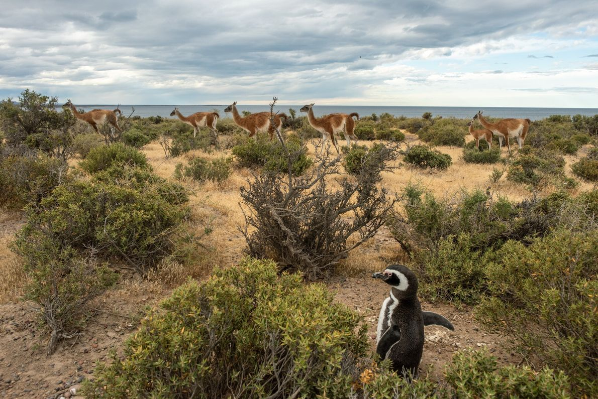 Un pingüino de Magallanes parece imperturbable ante el paso de una manada de guanacos en la reserva ...
