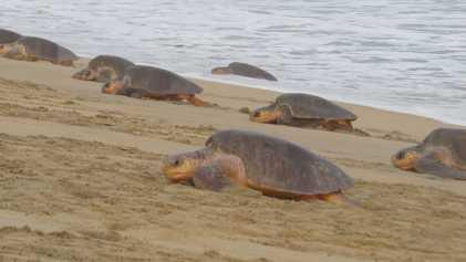 Aparecieron muertas cientos de tortugas marinas en peligro de extinción en las costas de México