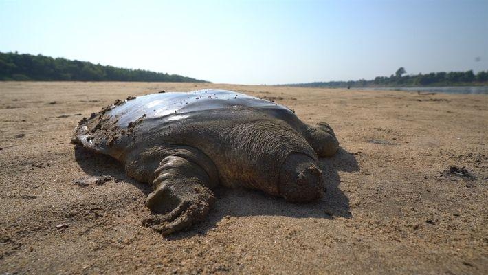 Liberan a una rara tortuga de Cantor a su hábitat natural