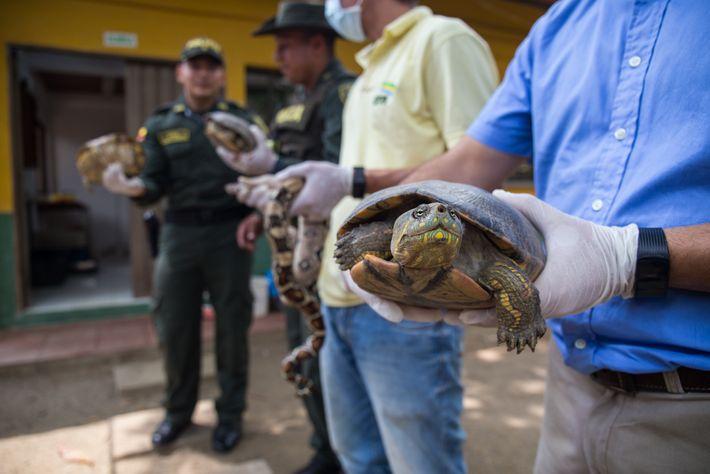 Eduardo Torres, a la derecha, sostiene una tortuga hicotea en el Centro de atención y valoración ...