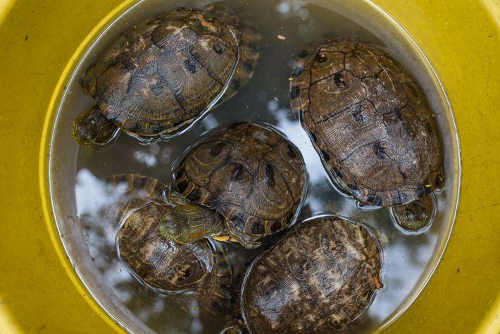 Rehidratan en un cubo a tortugas hicoteas descubiertas por la policía en la parte trasera de ...
