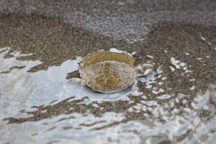 Encontrada únicamente en los ríos Sinú y Magdalena en el noroeste de Colombia, la tortuga del ...