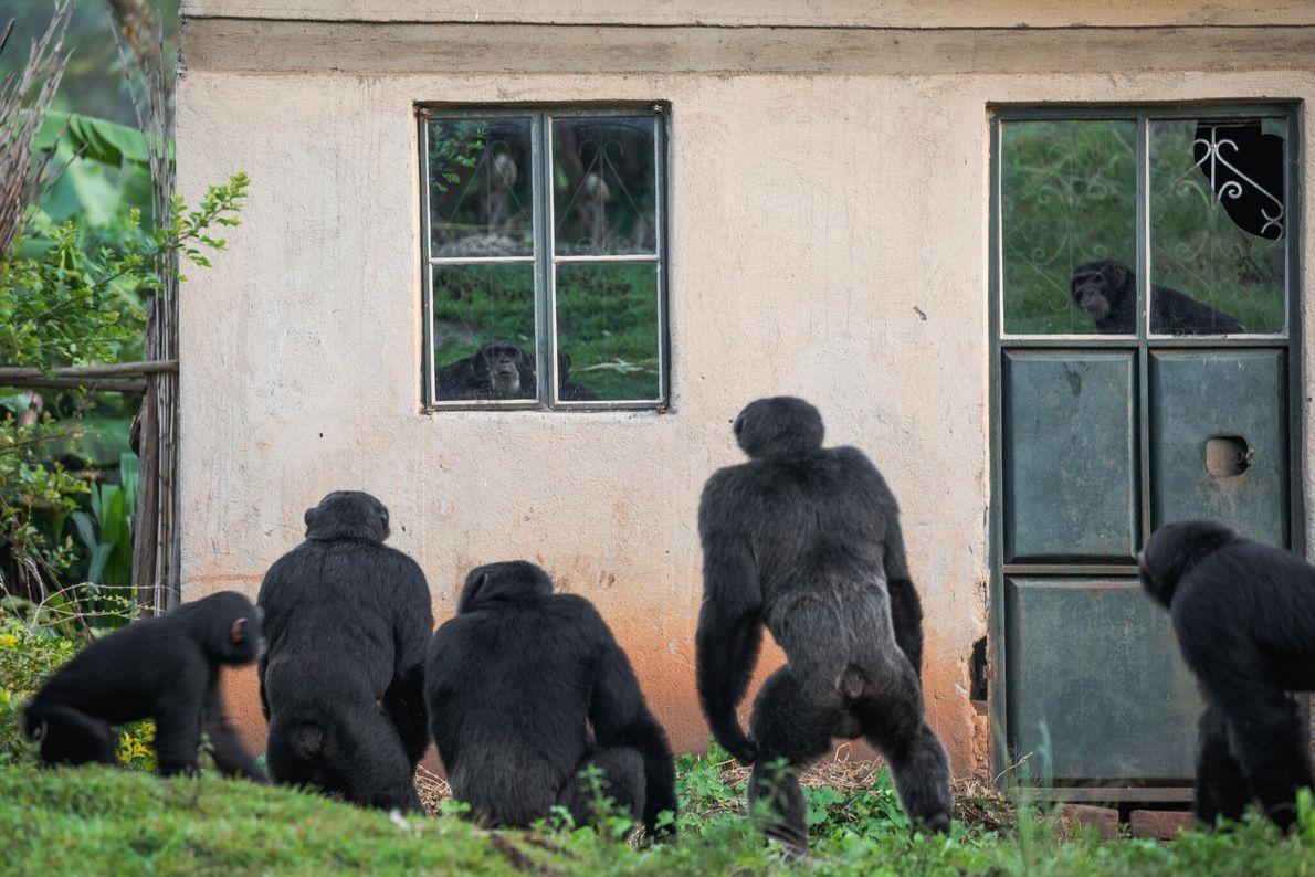 Alrededor de algunas aldeas del oeste de Uganda, pequeños grupos de chimpancés deben sobrevivir en franjas ...