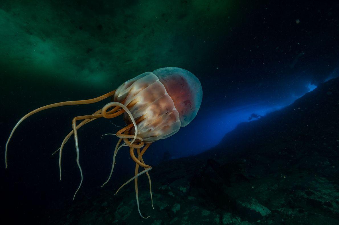 Una medusa corona bioluminiscente, de unas 14 pulgadas de ancho (unos 35,5 centímetros), flota a 130 ...