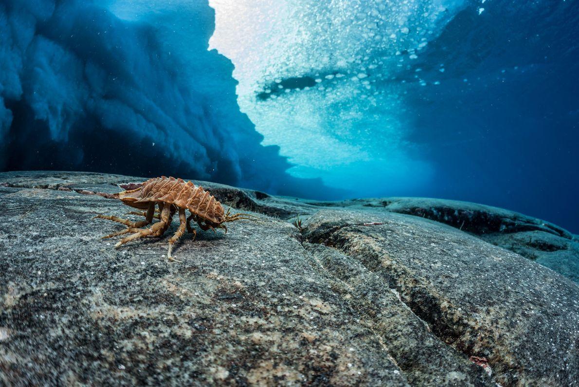 Un isópodo se parece a un insecto de la píldora y se enrolla cuando se lo ...