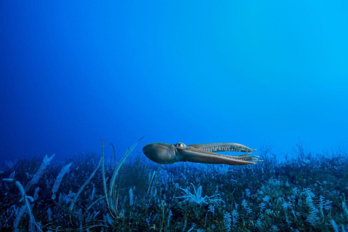 Un pulpo se lanza sobre un lecho marino lleno de vida. La Antártida tiene al menos ...
